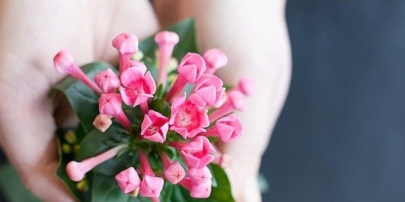 گیاه زینتی بواردیا: یک انتخاب رمانتیک برای منزل شما