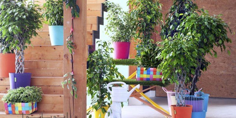 گیاه بنجامین : آشنایی و نحوه نگهداری در منزل این درختچه زیبای غمگین